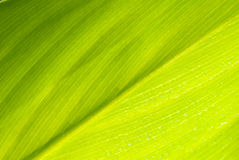 Closeup of leaf. Abstract background  of green leaf Stock Image