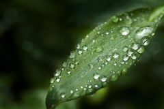 Closeup of leaf. With dew drops Royalty Free Stock Photo