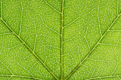 Closeup of a leaf Royalty Free Stock Images