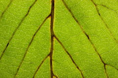 Closeup Leaf Royalty Free Stock Image