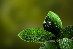 Closeup of a leaf covered in droplets with bokeh background Royalty Free Stock Photography