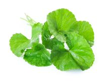 Closeup leaf of Gotu kola, Asiatic pennywort, Indian pennywort o Stock Image