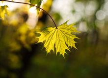 Closeup leaf growing in forest in light of setting sun Stock Photos