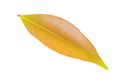 Closeup leaf isolated on white Royalty Free Stock Images