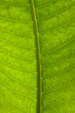 Closeup of a leaf lit by sunlight Stock Photo