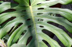 Closeup of the leaf of the plant Monstera Stock Images