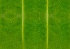 closeup of leaf texture, green and fresh Stock Images
