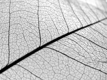 Closeup leaf veins texture. A detailed veins shot from a leaf. No interior structure, only the veins Royalty Free Stock Photography