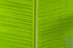 Closeup of leaf with water drops. Closeup of green leaf with many water drops horizantal stock photography