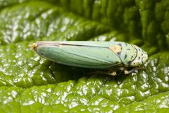 Closeup of leafhopper. In garden in Pacific Northwest.  Leafhoppers are common plant pests Royalty Free Stock Photos