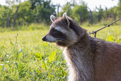 Closeup of a leashed Raccoon. Closeup of a leashed Raccoon on a meadow Stock Photo