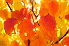 Leaves changing color in the Fall, Arizona Royalty Free Stock Photography