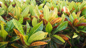 Closeup leaves of Codiaeum variegatum or Garden Croton Petra in Garden as background Royalty Free Stock Images