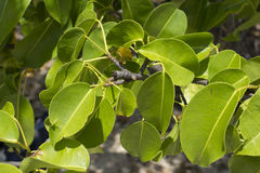Closeup leaves of deadly manchineel tree Royalty Free Stock Photo