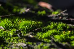 A bright macro picture of green autumn moss on the bark of a vine bush stock image