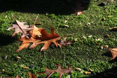 Closeup of leaves on moss. Closeup of fallen leaves on moss during a sunny day Royalty Free Stock Photo