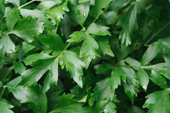Free Closeup Leaves Of Parsley, Green Background Royalty Free Stock Photos - 95443238