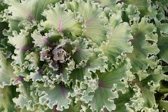 Closeup leaves of ornamental green cabbage for the background. Royalty Free Stock Images