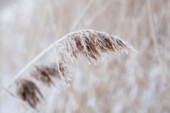 Reeds in winter Stock Image