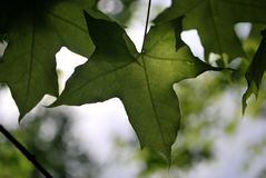 Closeup of leaves with sun ray. Green leaves with sun ray Stock Images