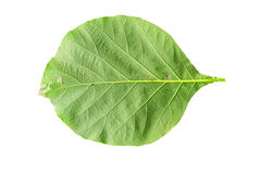 Closeup leaves of teak Royalty Free Stock Photography