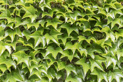Closeup of the leaves the of virginia creeper Stock Photos