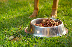 Closeup legs of mixed breed dog standing behind metal bowl with fresh crunchy food sitting on green grass, animal Royalty Free Stock Photo