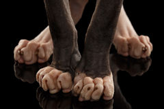 Closeup  Legs Sphynx Cat Standing on Black Stock Images