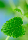 Closeup of lemon-balm mint Royalty Free Stock Photo