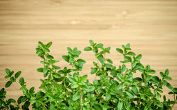 Closeup lemon thyme leaves from the herb garden. Thymus citriodo Royalty Free Stock Image