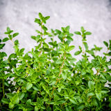 Closeup lemon thyme leaves from the herb garden. Thymus citriodo Stock Photo
