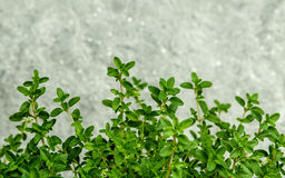Closeup lemon thyme leaves from the herb garden. Thymus citriodo Royalty Free Stock Photography