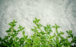 Closeup lemon thyme leaves from the herb garden. Thymus citriodo Stock Images
