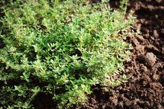 Closeup lemon thyme leaves from the herb garden. Thymus citriodorus or lemon thyme or Citrus thyme Stock Photos