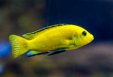 Closeup of a lemon yellow lab cichlid, a very popular fish in aquaculture, tropical freshwater fish from lake malawi in Africa. A closeup of a lemon yellow lab royalty free stock images