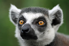 Closeup of lemur. A closeup view of the face and head of a black and white lemur stock photo