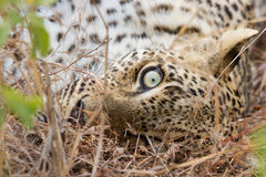Closeup of Leopard eye lying down in grass relaxing Stock Photo