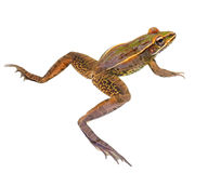 Closeup of a Leopard Frog Isolated on White Royalty Free Stock Photo
