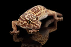 Closeup Leopard Gecko Eublepharis macularius Isolated on Black Background Stock Photo