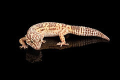 Closeup Leopard Gecko Eublepharis macularius Isolated on Black Background Royalty Free Stock Photo