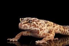 Closeup Leopard Gecko Eublepharis macularius Isolated on Black Background Royalty Free Stock Photos