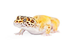 Closeup Leopard Gecko Lizard Stock Photos
