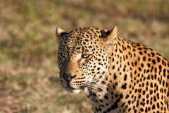 Closeup of leopard head in the sunlight Royalty Free Stock Photo