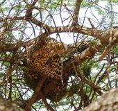 Closeup of a  Leopard in the high branches of a tree Royalty Free Stock Image