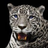 Closeup leopard  jaguar staring Royalty Free Stock Photos