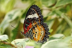 Closeup of leopard lacewing butterfly Royalty Free Stock Images