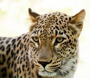 Closeup of Leopard looks forward Stock Photo