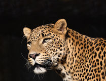 Closeup of Leopard looks forward Royalty Free Stock Photography