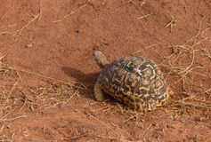 Closeup of Leopard tortoise Royalty Free Stock Images