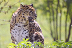 Closeup leopard in the vegetation Royalty Free Stock Images